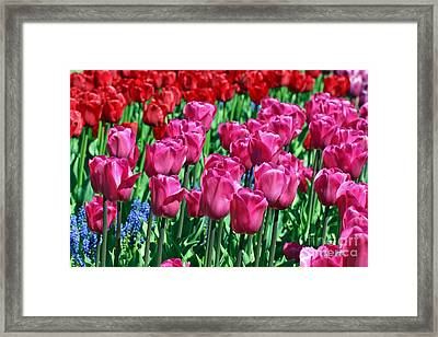 Pink Tulips Framed Print by Tap On Photo