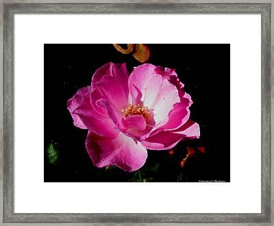 Pink Velvet Framed Print
