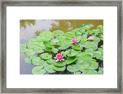 Pink Water Lilies, Lake View Hotel Framed Print by Stuart Westmorland