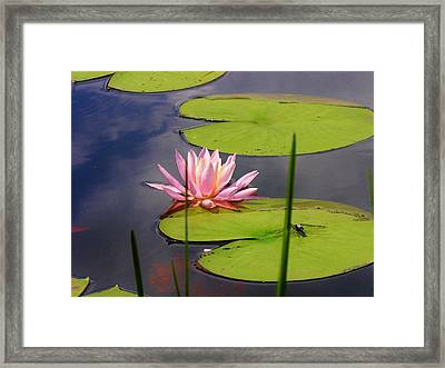 Pink Water Lily And Dragonfly Framed Print by Sherman Perry