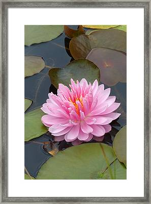 Pink Water Lily Framed Print by Cindy McDaniel