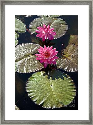 Pink Water Lily IIi Framed Print by Heiko Koehrer-Wagner