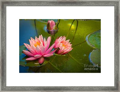 Pink Water Lily Framed Print by Inge Johnsson