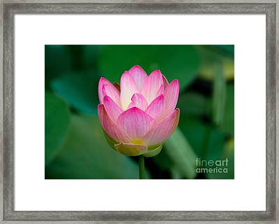 Pink Water Lily Framed Print by Lisa L Silva