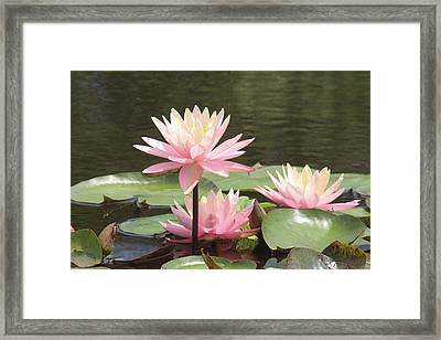 Pink Waterlilies Framed Print by Jill Bell