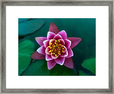 Rose Waterlily Framed Print