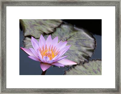 Pink Water Lily At Dusk Framed Print by Yvonne Wright