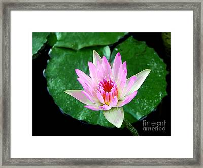 Framed Print featuring the photograph Pink Waterlily Flower by David Lawson