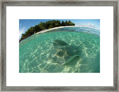 Pink Whipray In Shallow Waters Framed Print by Scubazoo