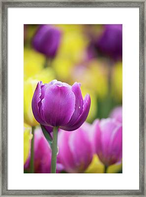 Pink, Yellow And Purple Tulips Blooming Framed Print