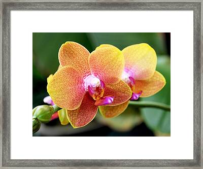 Pink Yellow Orchid Framed Print