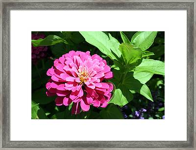 Framed Print featuring the photograph Pink Zinnia by Ellen Tully