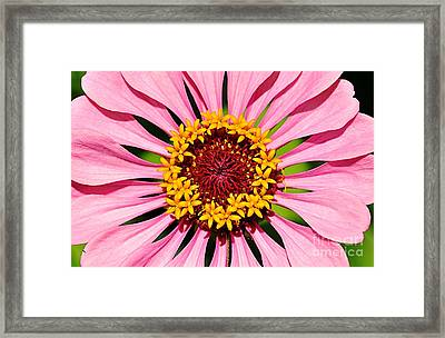 Pink Zinnia Macro Framed Print