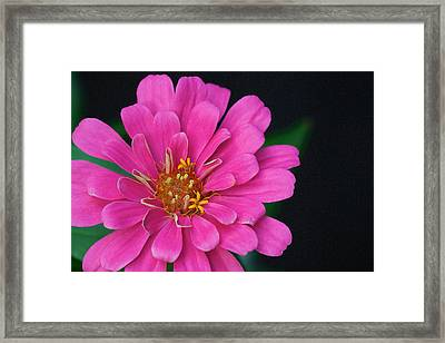 Framed Print featuring the photograph Pink Zinnia - Zinnia Rose by Nature and Wildlife Photography