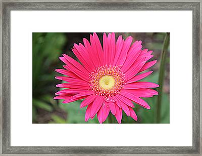 Pinks A Daisy Framed Print by Sarah E Kohara