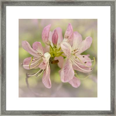 Pinkshell Azalea  Framed Print