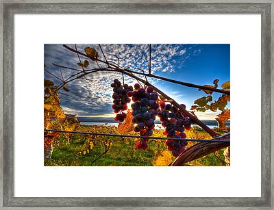 Pinot On The Vine Framed Print by Walter Arnold