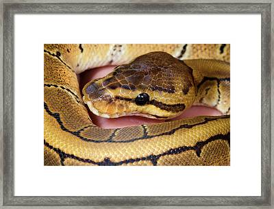 Pinstripe Royal Python Framed Print by Nigel Downer