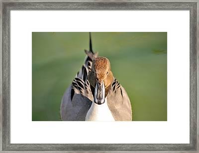 Pintail Drake  Framed Print