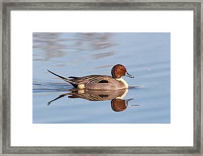 Pintail Drake Reflections Framed Print by Kathleen Bishop