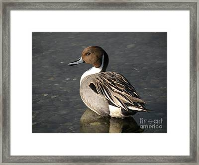 Pintail Duck Framed Print