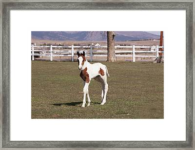 Pinto Filly In Pasture With White Fence Framed Print by Piperanne Worcester