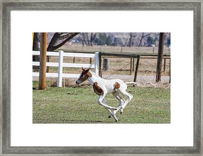 Pinto Oldenburg Warmblood Foal Jumping Framed Print