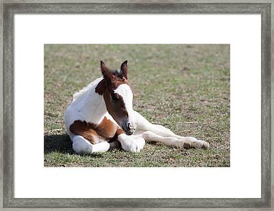 Pinto Oldenburg Warmblood Foal, Lying Framed Print by Piperanne Worcester