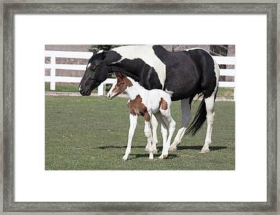 Pinto Oldenburg Warmblood Foal Or Filly Framed Print by Piperanne Worcester