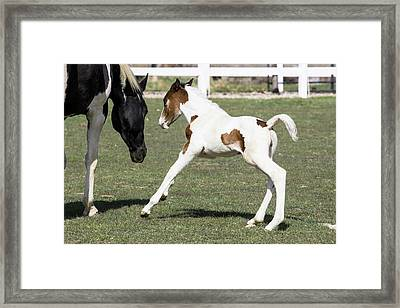 Pinto Oldenburg Warmblood Foal Playing Framed Print by Piperanne Worcester