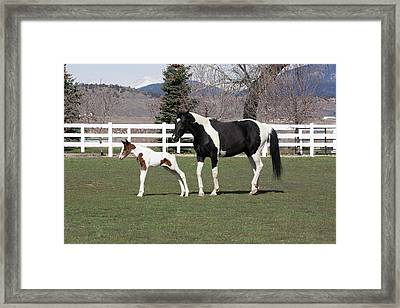 Pinto Oldenburg Warmblood Mare And Foal Framed Print by Piperanne Worcester