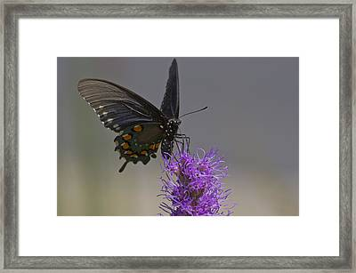Pipevine Alights Framed Print