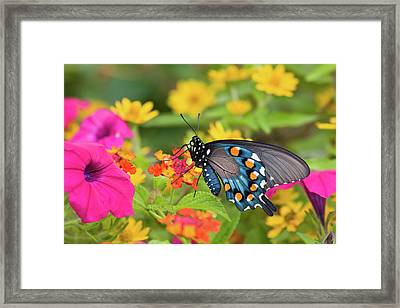 Pipevine Swallowtail Battus Philenor Framed Print by Panoramic Images