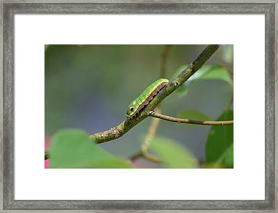 Pipevine Swallowtail Caterpillar Framed Print
