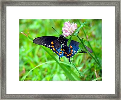 Pipevine Swallowtail Hanging On Framed Print