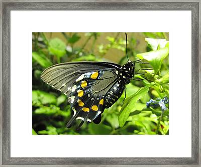 Pipevine Swallowtail Framed Print by Jennifer Wheatley Wolf