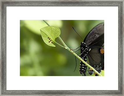 Framed Print featuring the photograph Pipevine Swallowtail Mother With Eggs by Meg Rousher