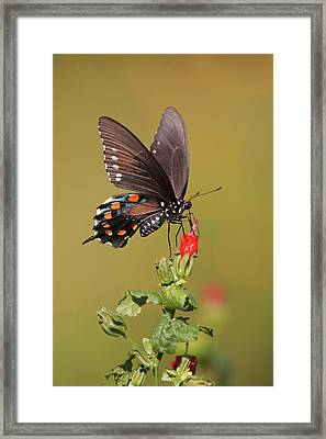 Pipevine Swallowtail Nectaring Framed Print