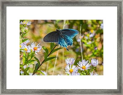 Pipevine Swallowtail On Asters Framed Print by John Haldane