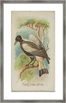 Piping Crow-shrike, From The Song Birds Framed Print