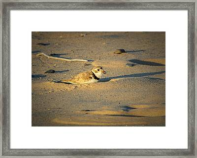 Piping Plover Adult Framed Print