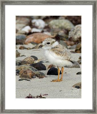 Piping Plover Chick Framed Print