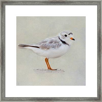 Piping Plover Square Framed Print
