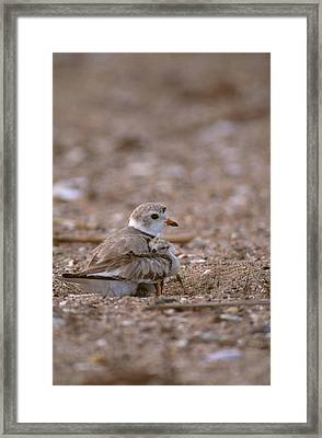 Piping Plover With Chick Framed Print