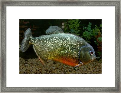 Piranah Framed Print by Denise Keegan Frawley
