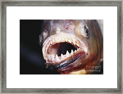 Piranha Teeth Framed Print