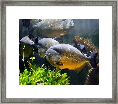 Piranha Framed Print by TN Fairey