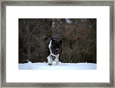 Framed Print featuring the photograph Pit At Play by Cathy Shiflett