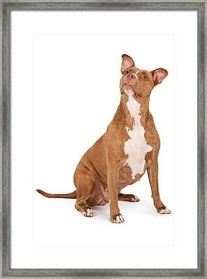 Pit Bull Dog Looking Up Framed Print by Susan Schmitz