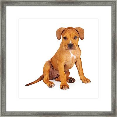 Pit Bull Puppy Fawn Color Framed Print by Susan Schmitz